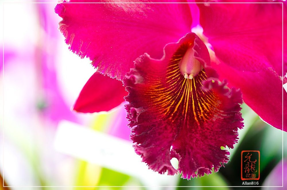 Orchid 1 by Allan Ooi