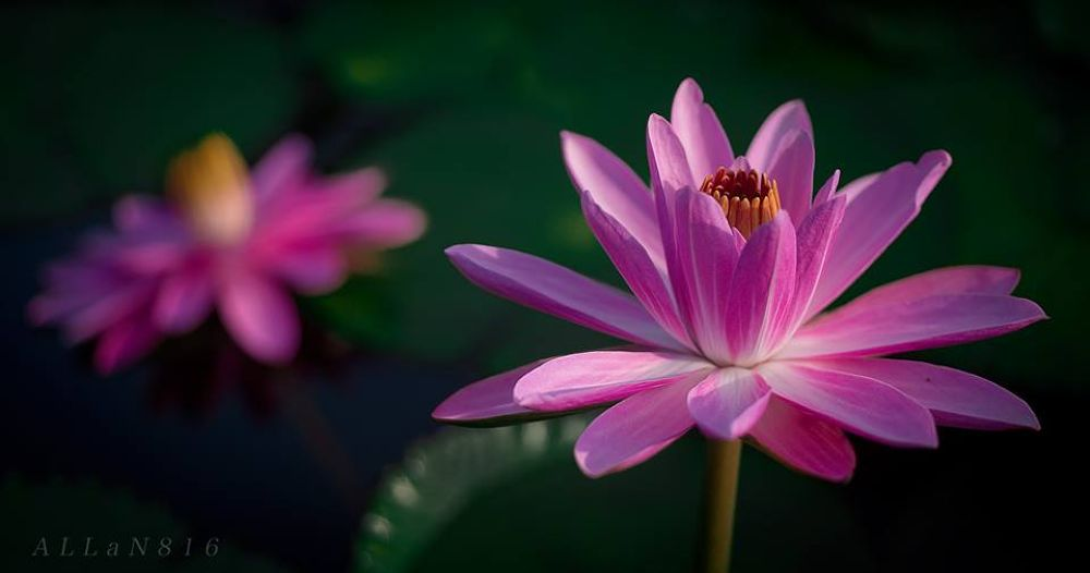 Lily3 by Allan Ooi