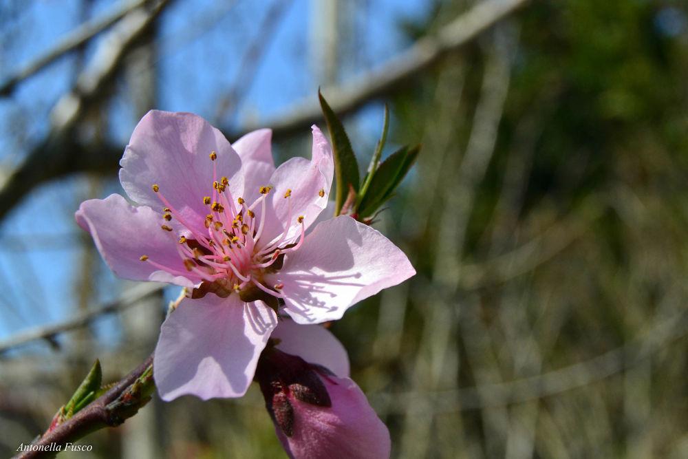 Fiore di pesco by antonellafusco35