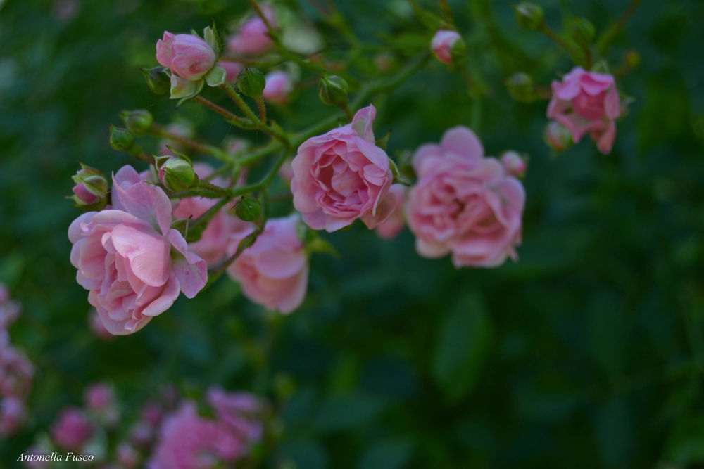 Photo in Random #rosegiardino #ypa2013