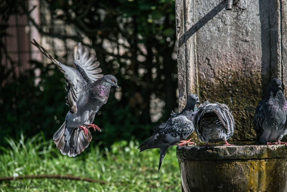 piccioni by antonellafusco35