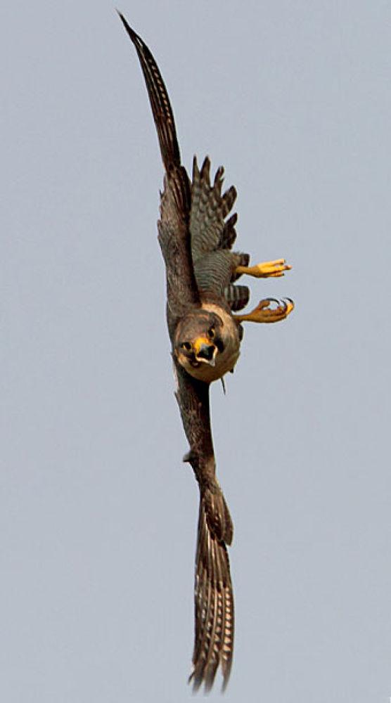 Shaheen Falcon by gobind sagar bhardwaj