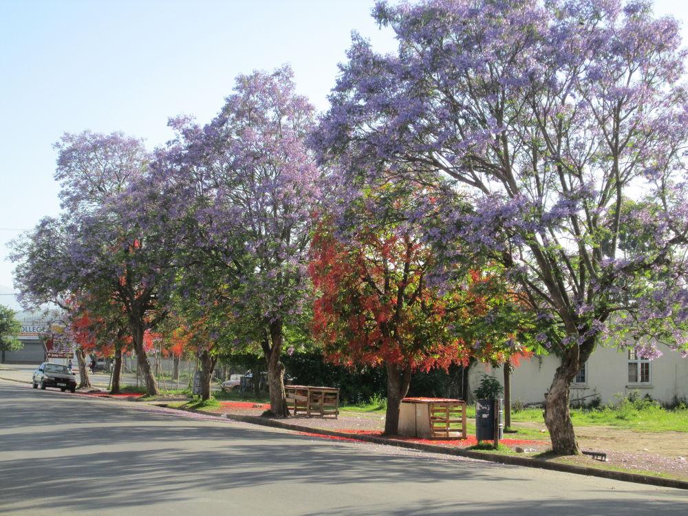 Spring Trees of Alice's Main Street Nov 2013 by Anthony J. Sloan