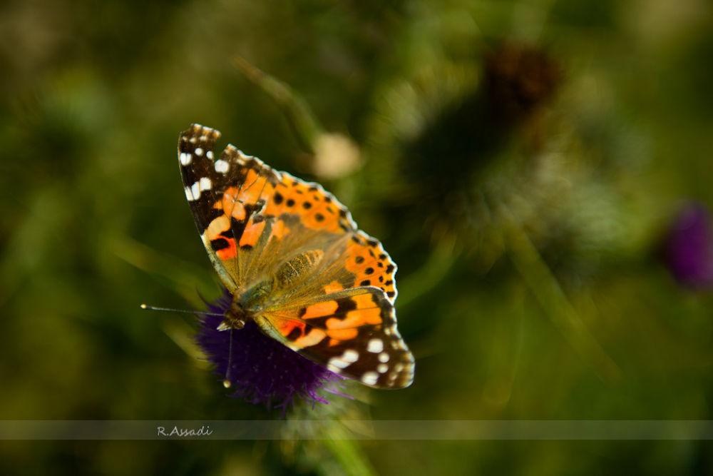 Broken Wing Butterfly by rasool assadi