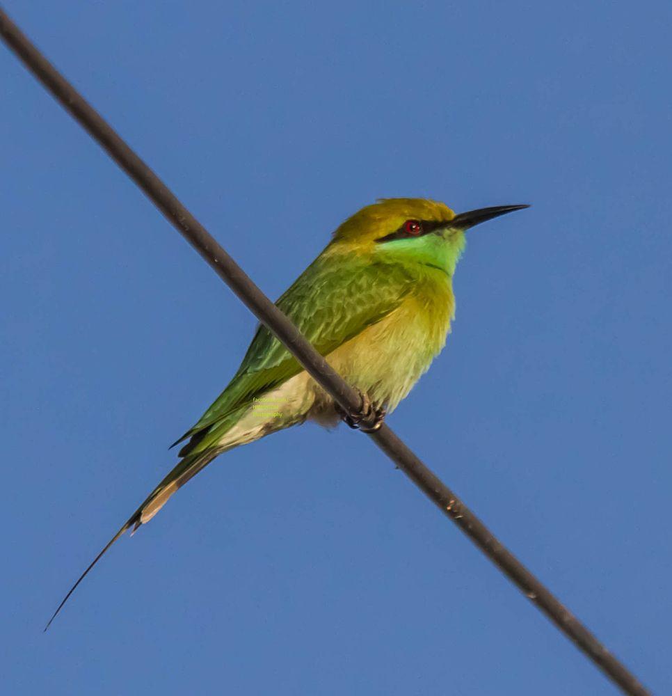 Green Bee-Eater by HiteshSoni