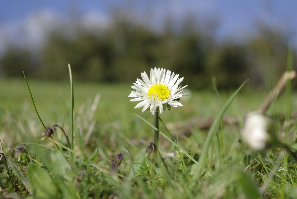 Daisy by Mira Landsmann