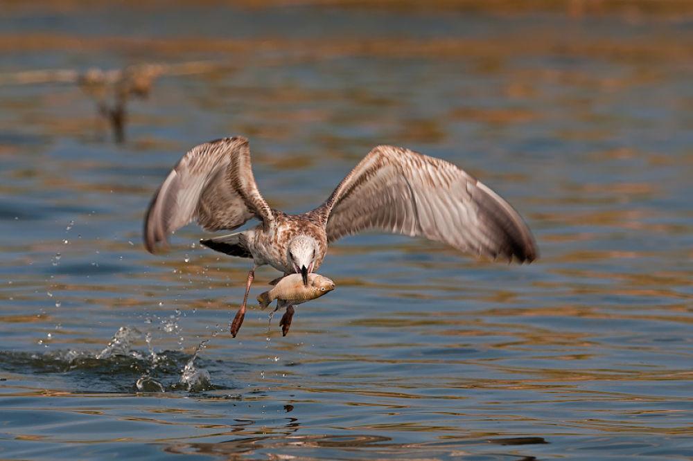 Photo in Nature #fish #larus