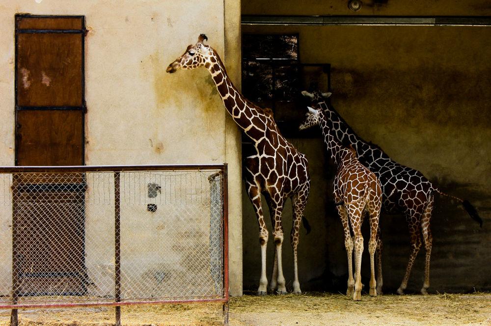 Girafes by Mam'zelle Kaelle