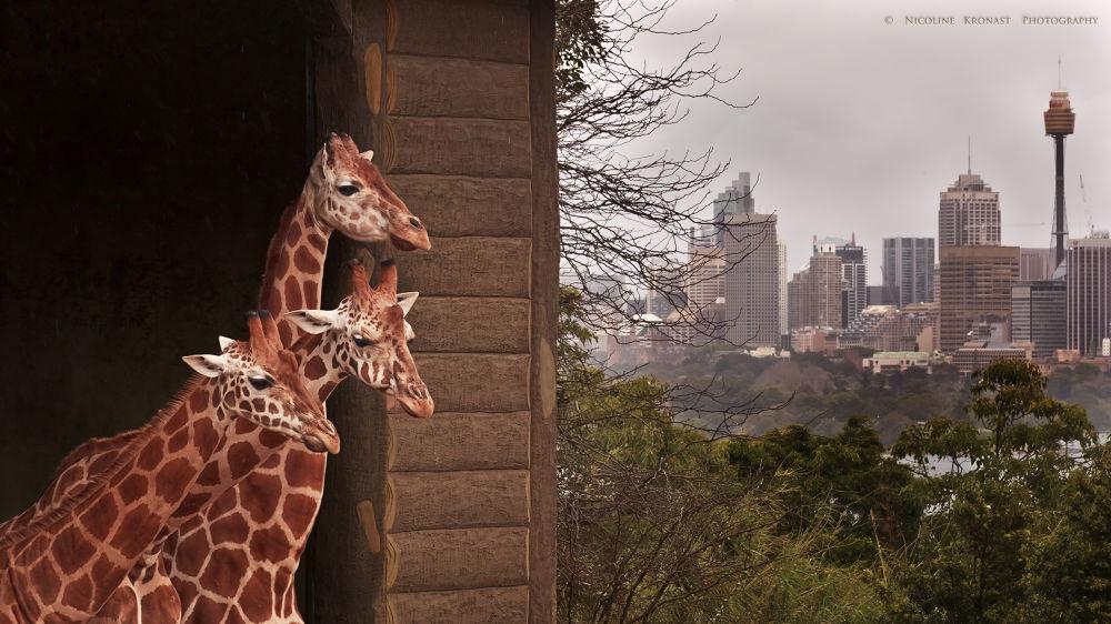 Photo in Family #giraffe #zoo #sydney #trio #tarongo #city