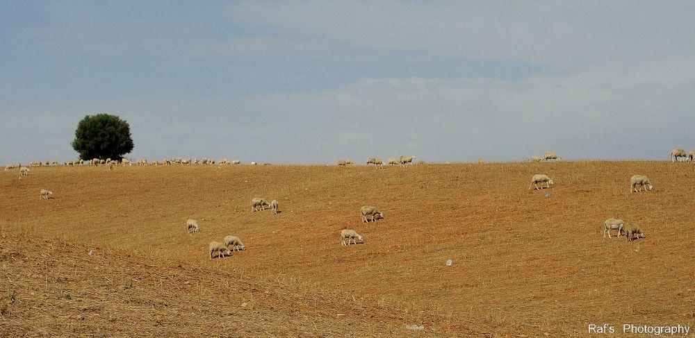 Photo in Random #landscape #animal #photography #sheep