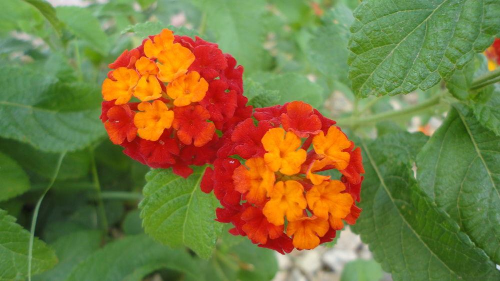 Two Beautiful Flower by Tibu.Aguirre