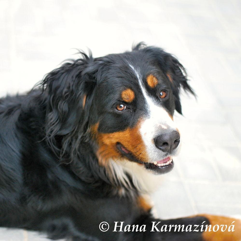 Bernese Mountain Dog - Nelly by hancule83