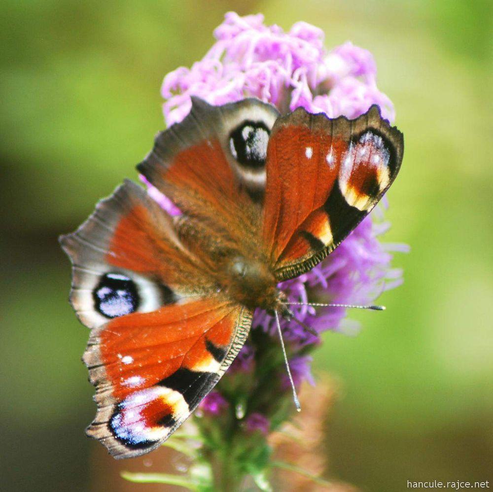 Buterfly by hancule83