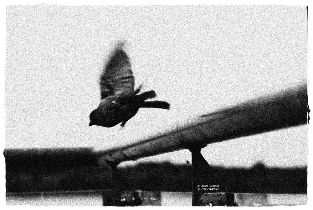 Photo in Black and White #vogel