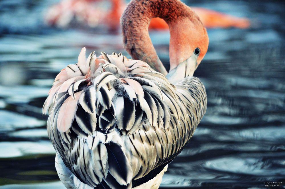 Zoo Dresden , Flamingo  by agneswuensche