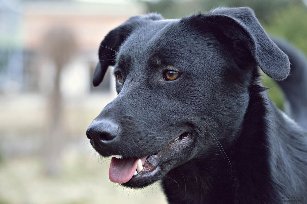 Labrador - German Shepherd Dog Mix by agneswuensche