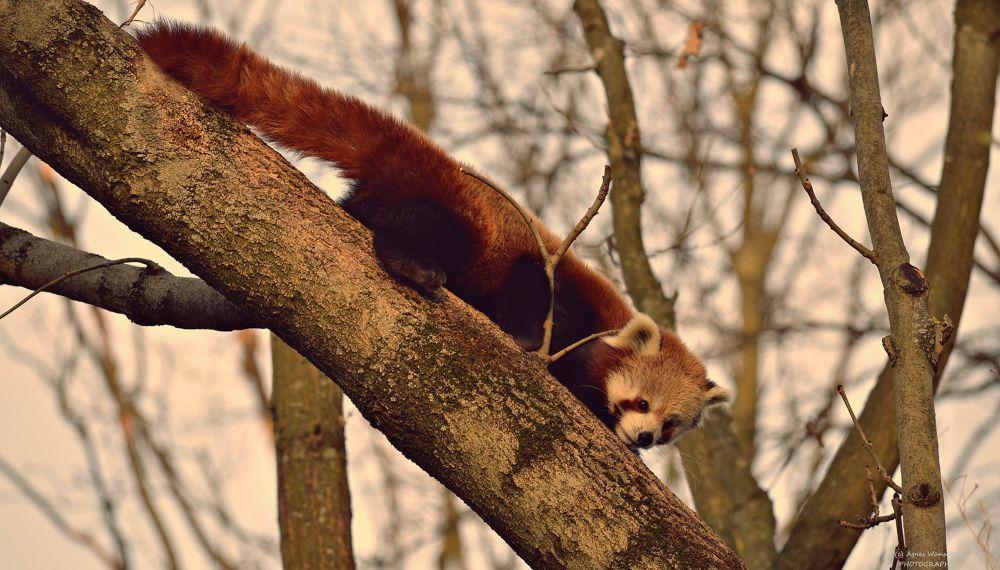 red panda by agneswuensche