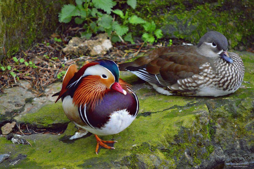 Mandarin Duck by agneswuensche