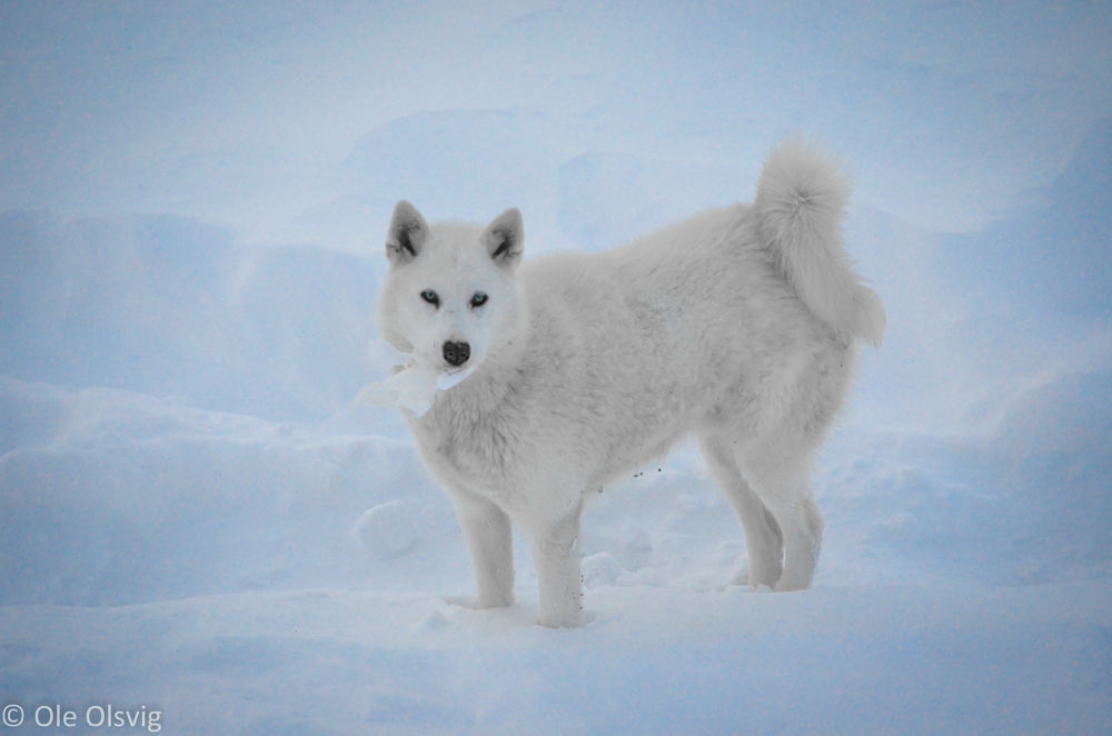 Photo in Animal #husky #greenland #greenlandic dog #dog #snow #ice #white #blue