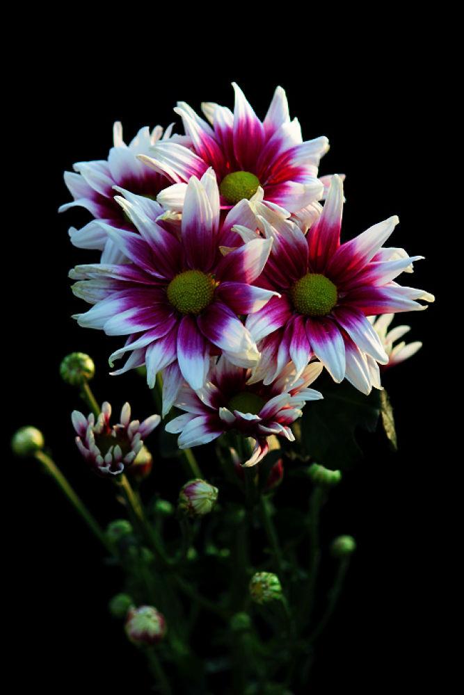 rose-colored by agus pratama setyawan