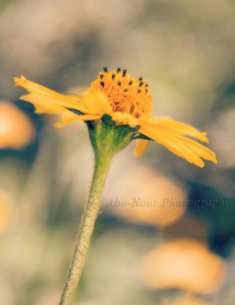 Photo in Nature #yellow #rose #bokeh