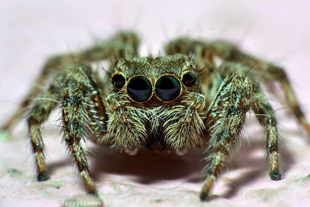 jumping spider...... by norferryirawan