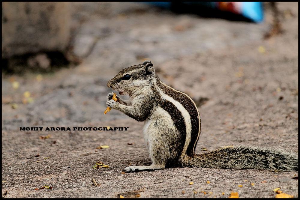squirrel by mohitarora568622