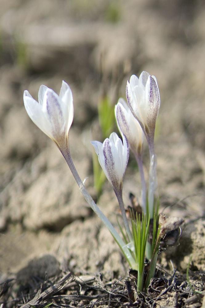 First Snowdrops Of this Spring by Damira Nagumanova