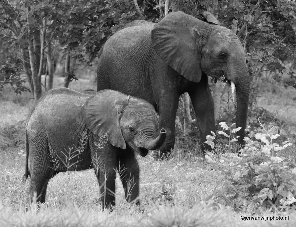 Elephant Young and mom by Jen van Wijngaarden