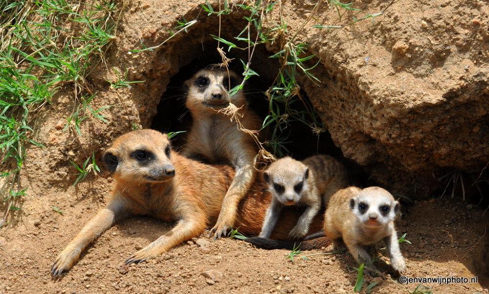 Meerkat Family by Jen van Wijngaarden
