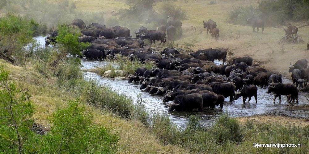 Buffalo's Drinking by Jen van Wijngaarden