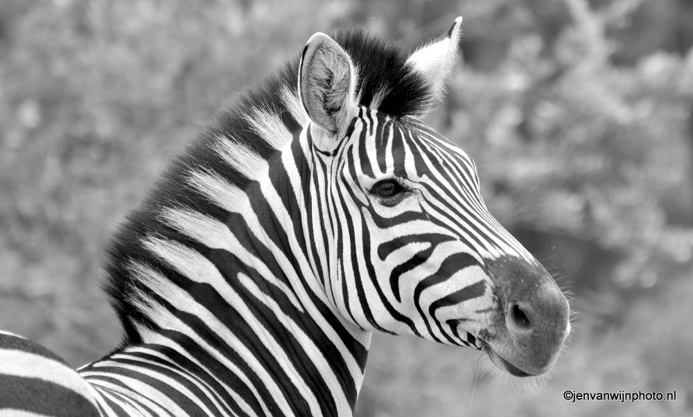 Photo in Random #zebra #kruger #kruger national park #b&w #back & white #stripes #south africa #wildlfe
