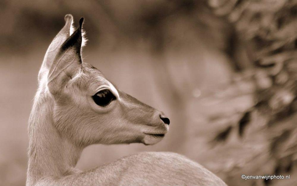 Impala Young  by Jen van Wijngaarden