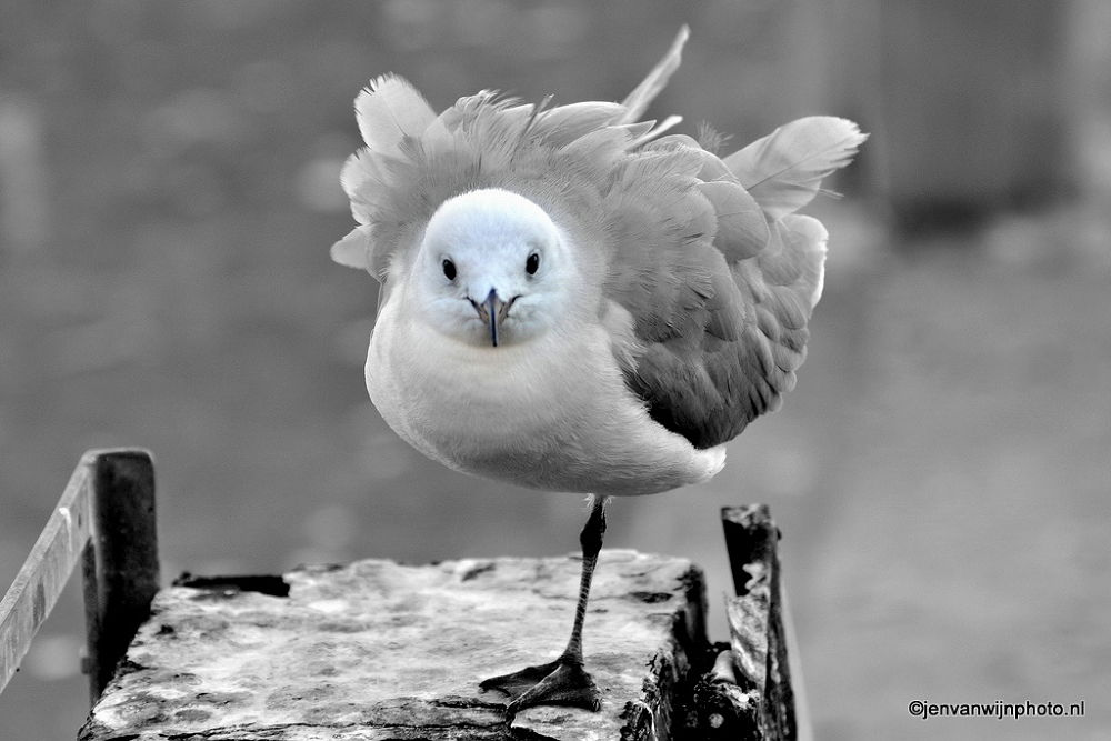 Photo in Random #seagull #gull #one leg #black & white #b&w #bird