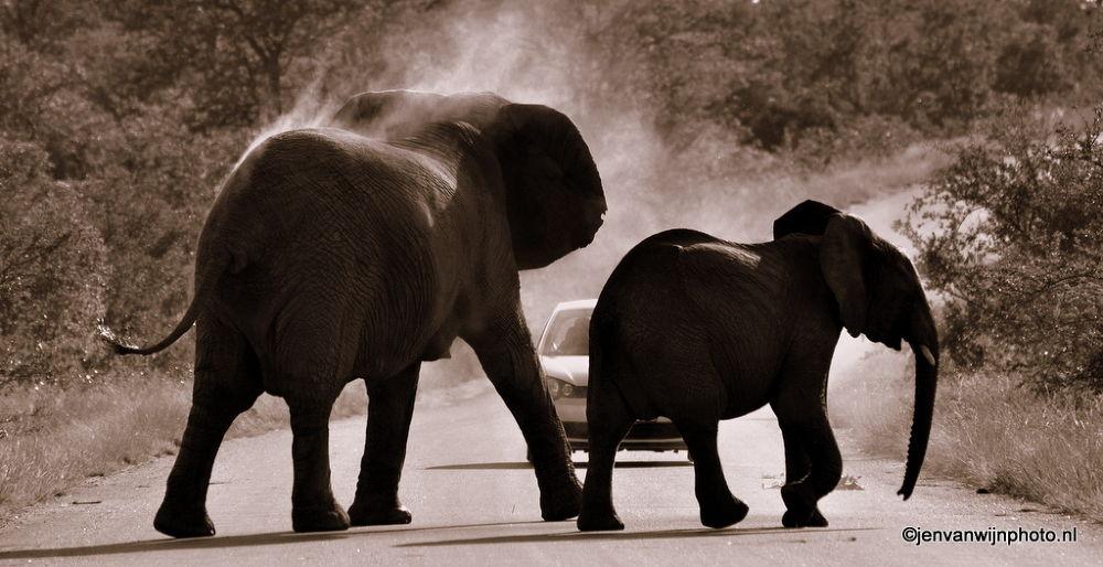 Photo in Animal #elephants #etosha #namibia #dust #elephants crossing #road #gravel road