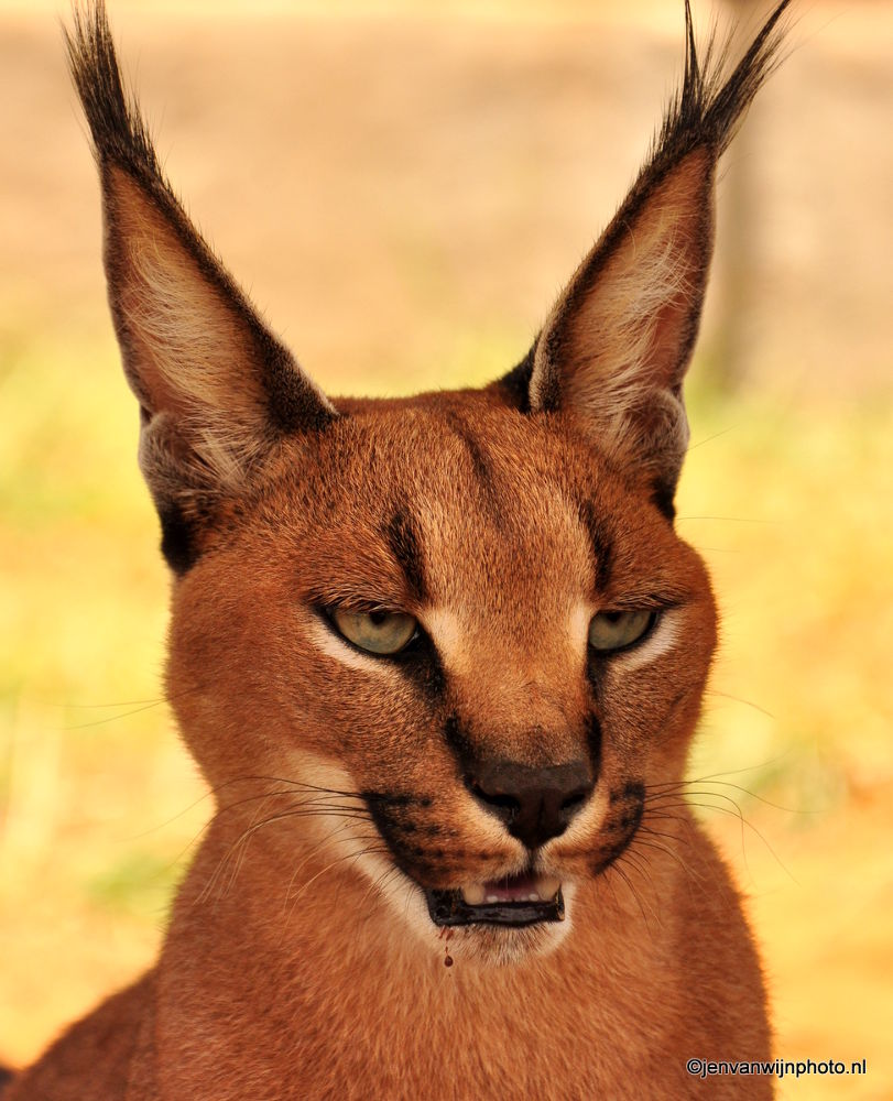 Photo in Animal #caracal #rooikat #south africa #wildlife #nature #cat #caracal cat