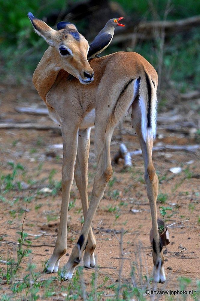 Baby Impala and Red-Billed Oxpecker by Jen van Wijngaarden