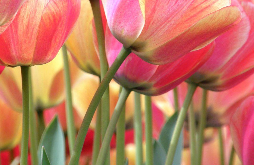 Multicolor Tulips by Jen van Wijngaarden