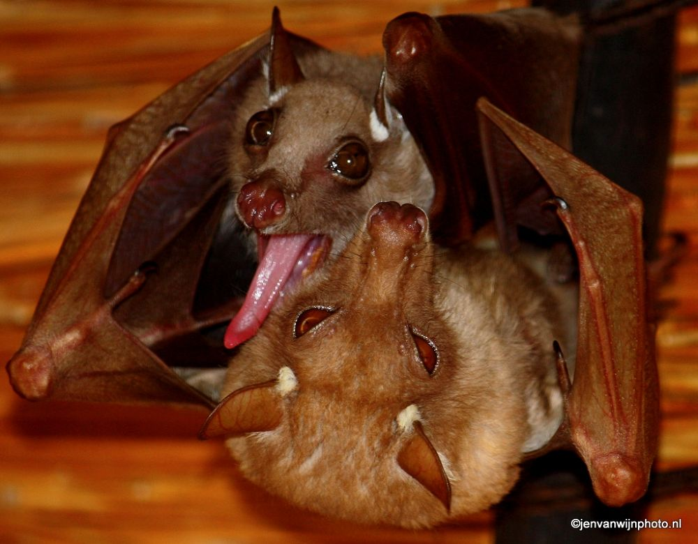 Fruit Bat by Jen van Wijngaarden