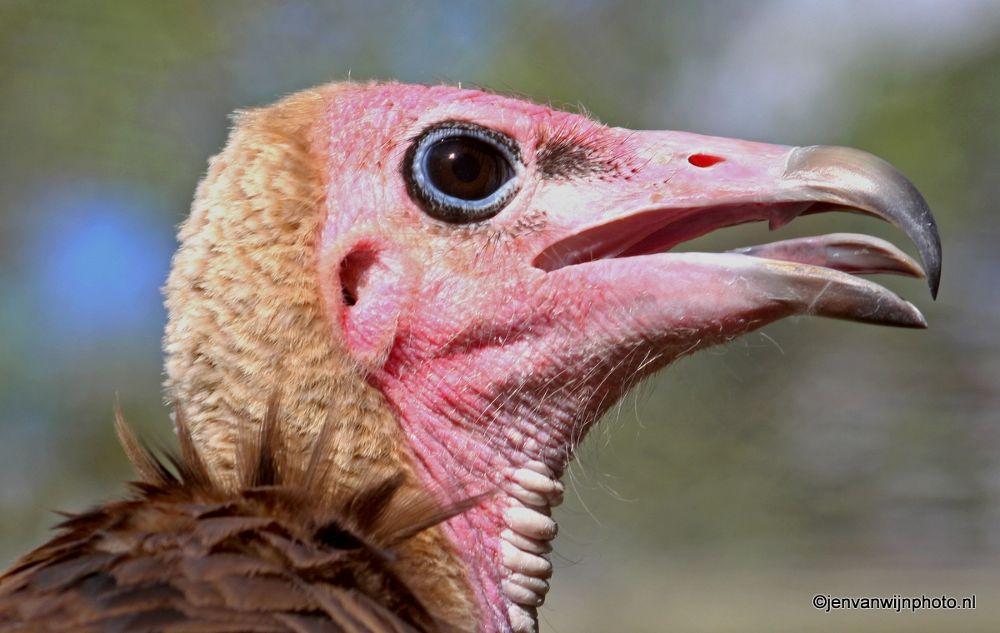 Vulture by Jen van Wijngaarden