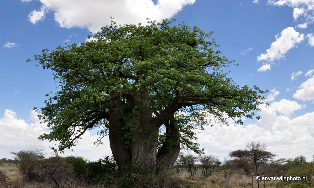 Baobab Tree - Botswana by Jen van Wijngaarden
