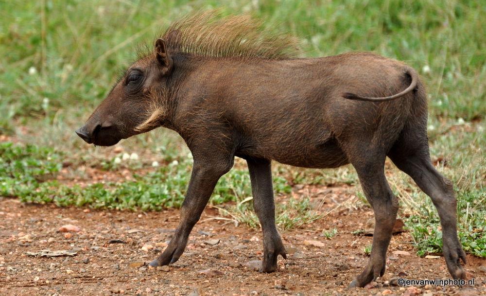 Warthog in Shape by Jen van Wijngaarden