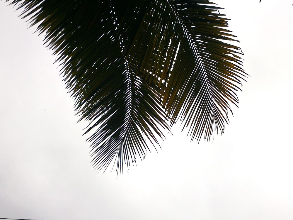 coconut leaf  by Midhun Muraly