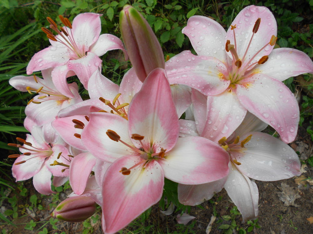 Photo in Nature #pink flower #tiger lily #rain
