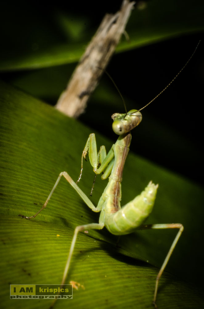 Photo in Nature #mantis #leaf #eyes #kungfu #back