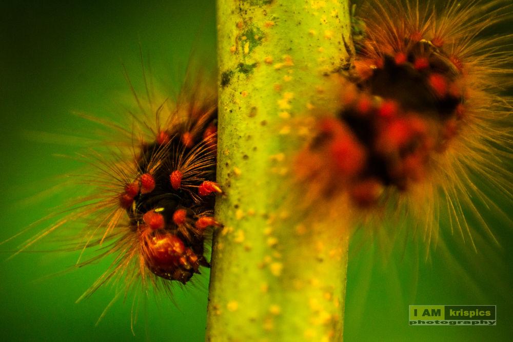 Photo in Nature #hair #green #feet #twig #caterpillar #red #orange