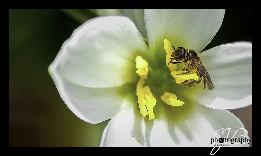 Photo in Macro #macro #bee #bees #insect #nikon #tamron #flower #dailyphotos #close-up #photography