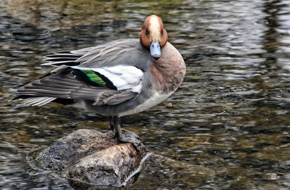 Duck by KeaneEye