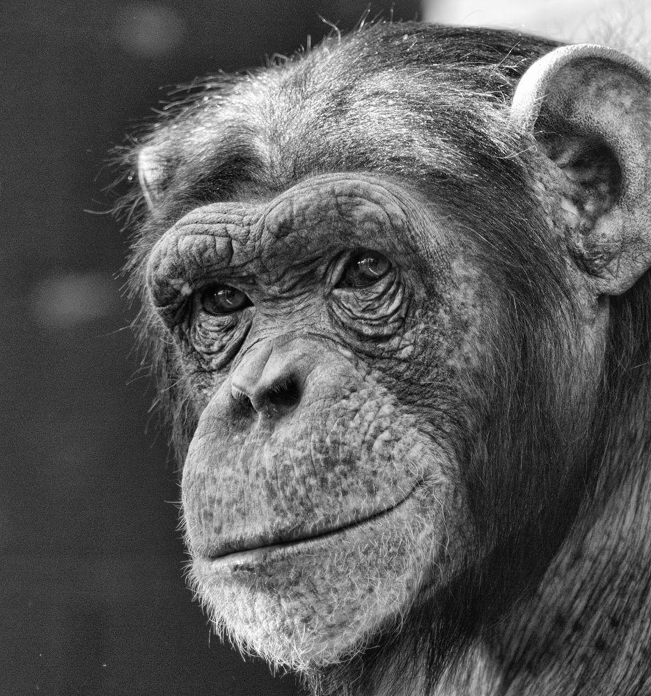 Photo in Portrait #chimp #portrait #black and white #animal #expression