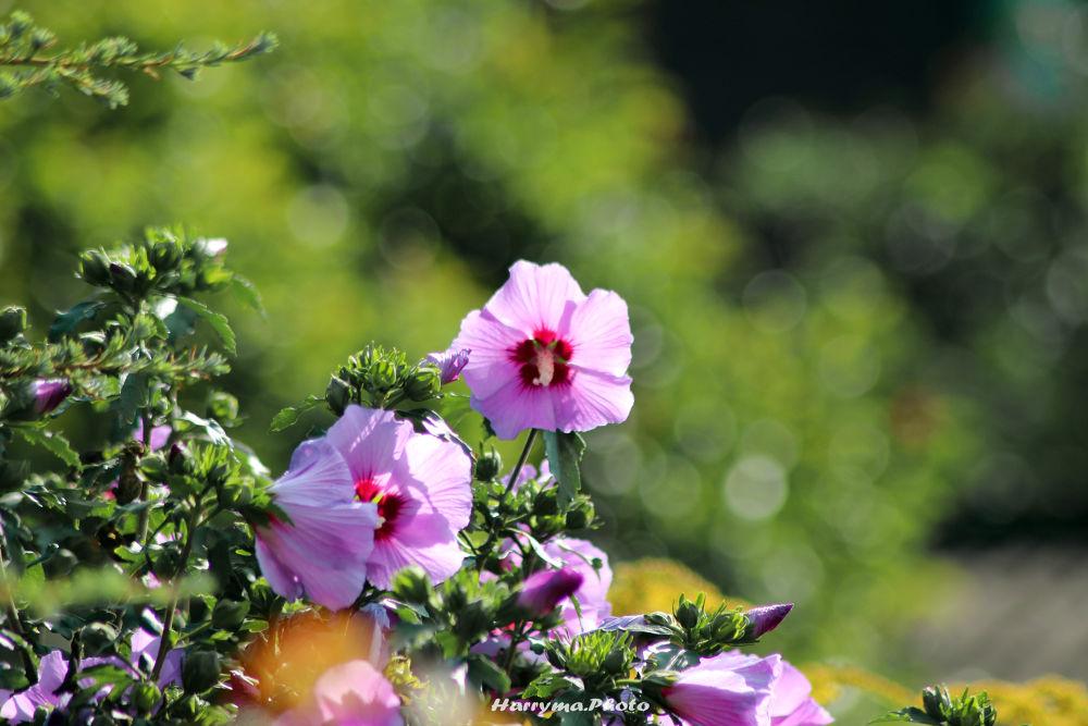 Hibiskus-Strauch by haraldkleiner